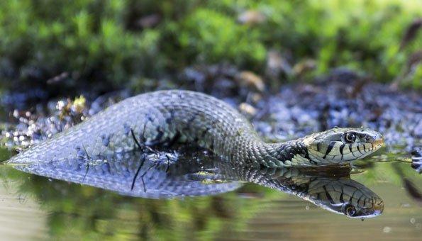 Wasserschlangen_Schweiz_Ringelnatter_595
